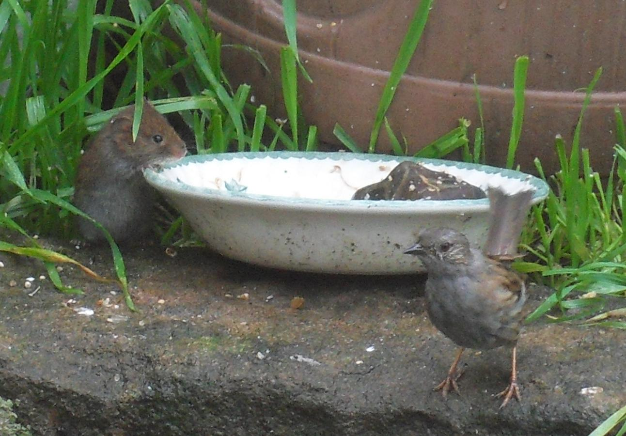 Mouse & dunnock